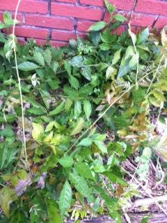 wisteria reborn